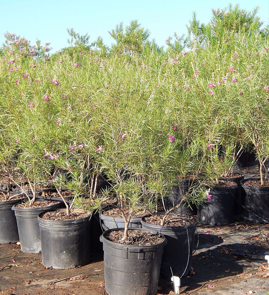 chilopsis-linearis-burgundy-desert-willow