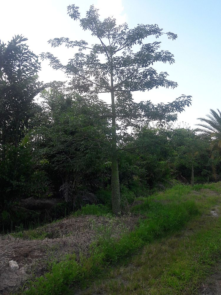 chorisia-speciosa-floss-silk-tree