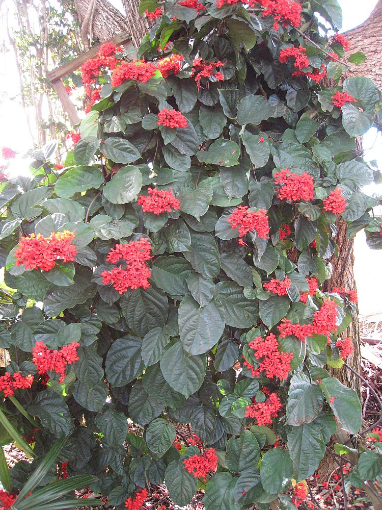 clerodendrum-splendens-flaming-glory