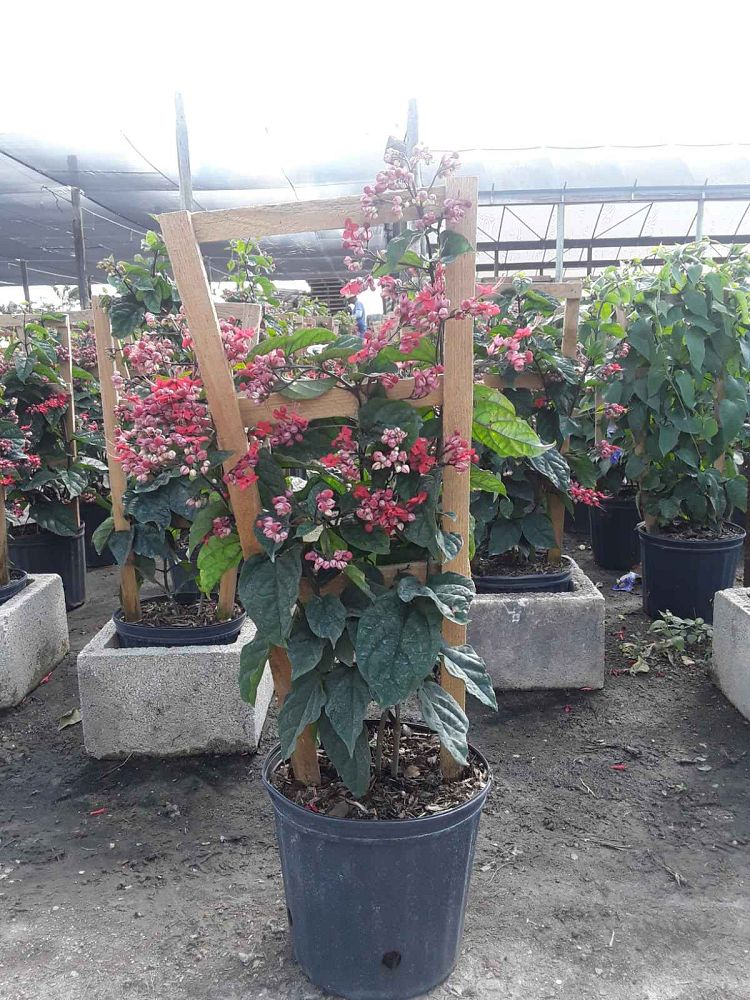 clerodendrum-thomsoniae-delectum-bleeding-heart-vine-red