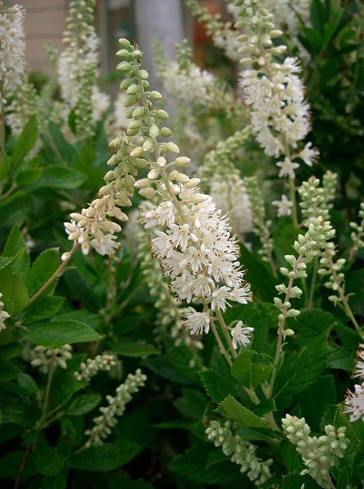 clethra-alnifolia-sixteen-candles-summersweet