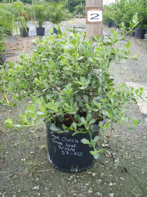 clusia-rosea-nana-dwarf-pitch-apple-autograph-tree