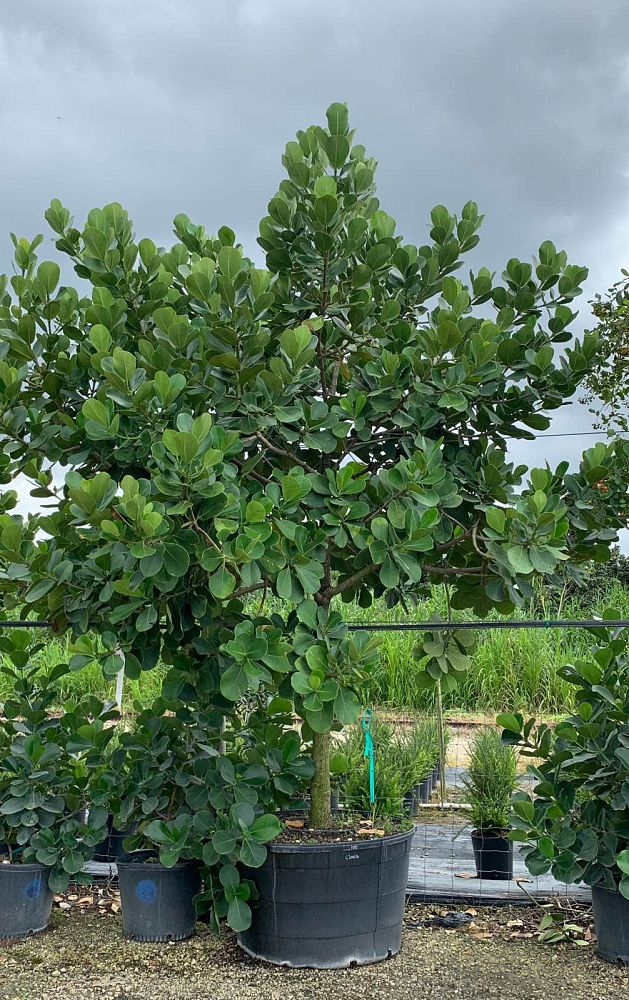 clusia-rosea-pitch-apple-autograph-tree