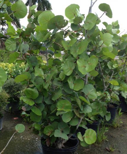 Florida Landscape Nursery Plantant Com