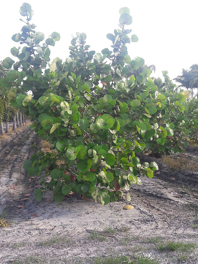 coccoloba-uvifera-sea-grape-seagrape