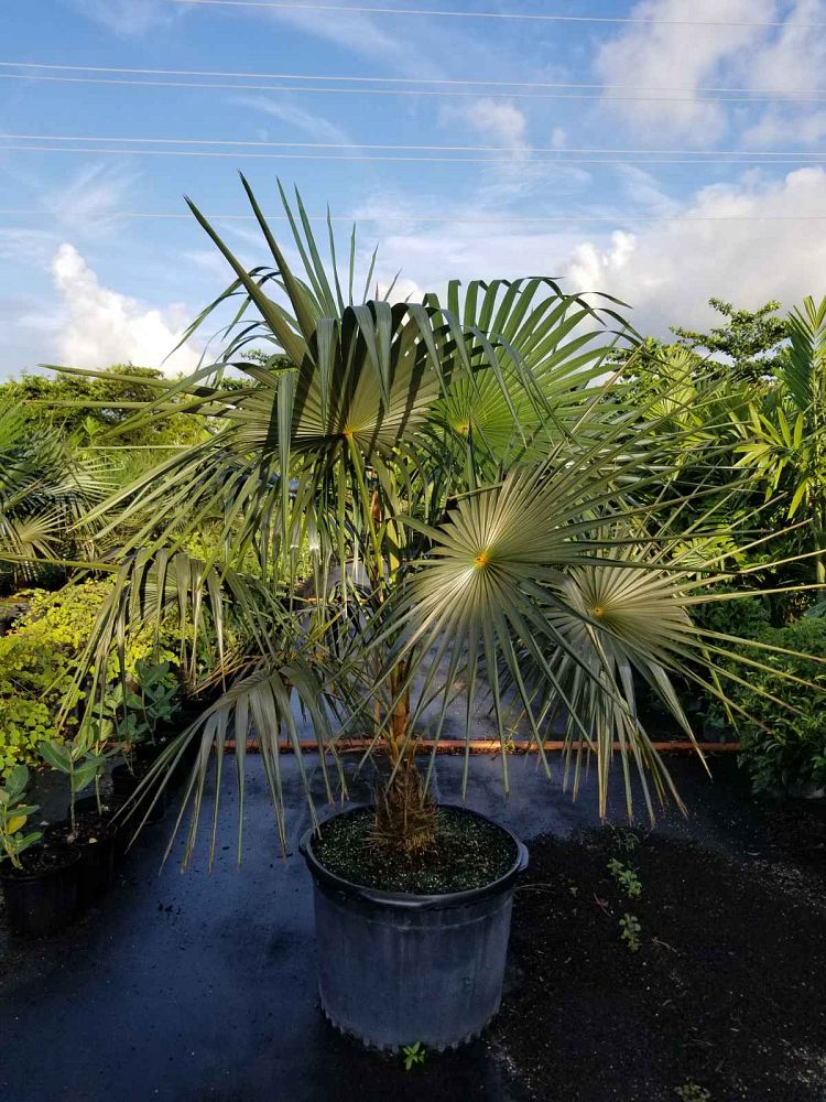 coccothrinax-barbadensis