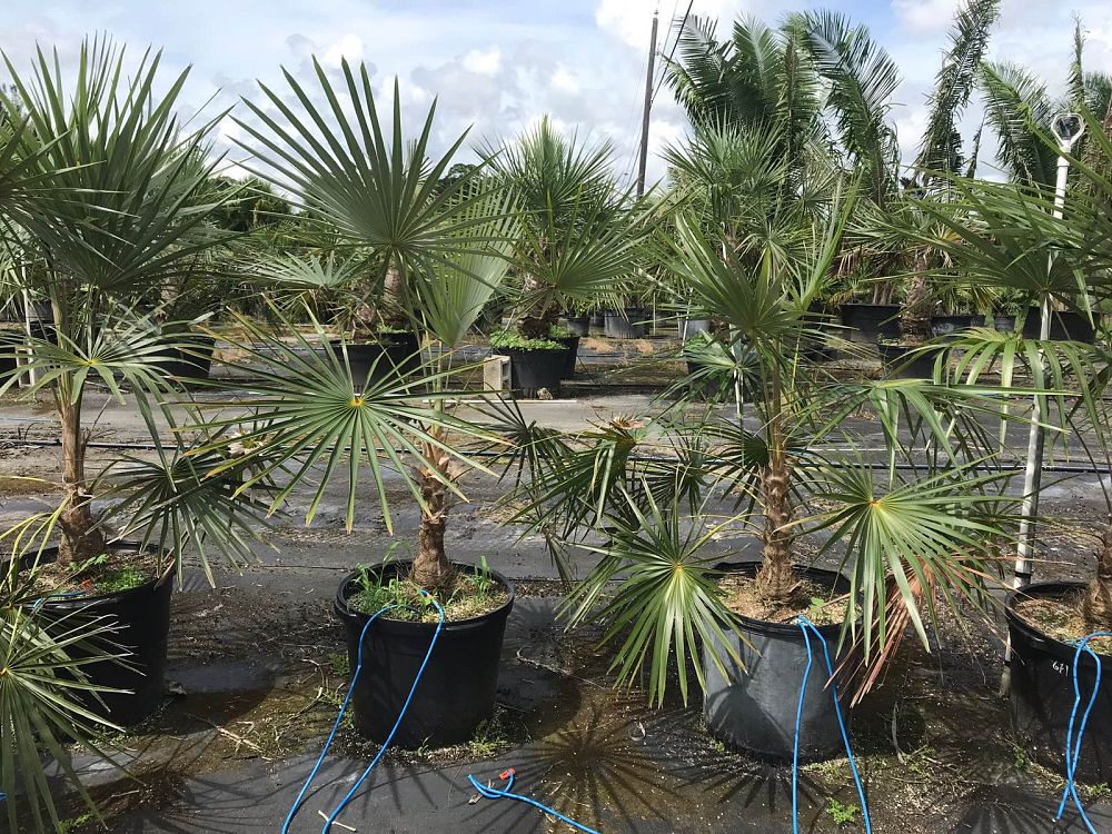 coccothrinax-crinita-brevicrinis-short-hair-old-man-palm