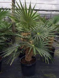 coccothrinax-crinita-old-man-palm