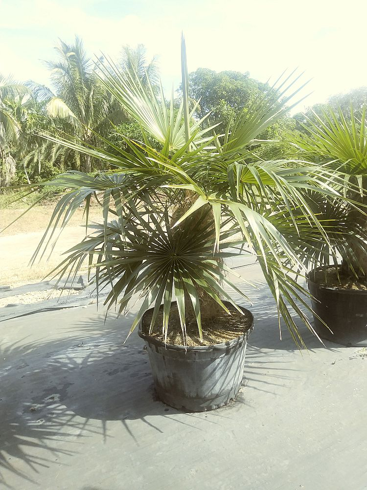 coccothrinax-crinita-old-man-palm-thatch-palm-palma-petate