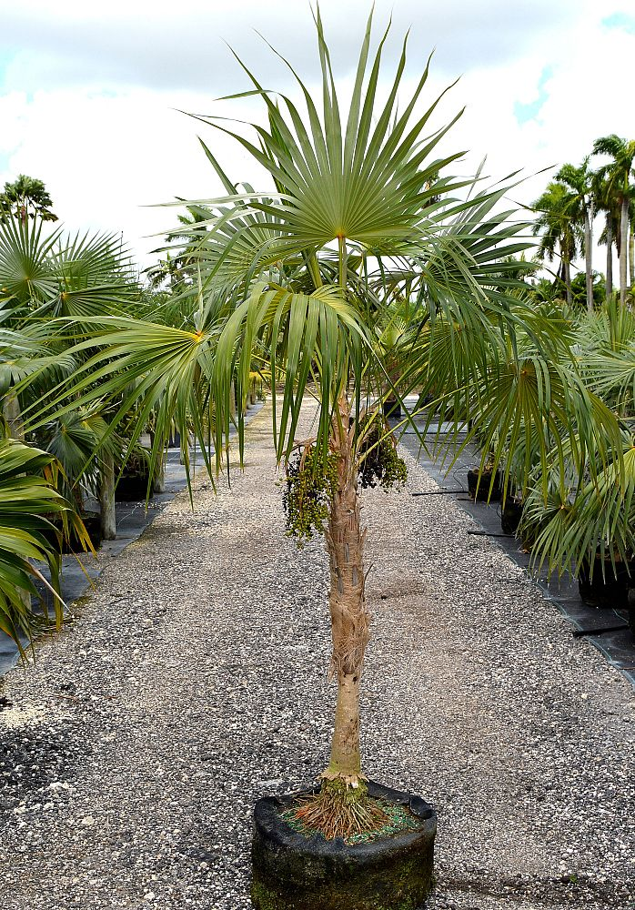 coccothrinax-readii-mexican-silver-palm