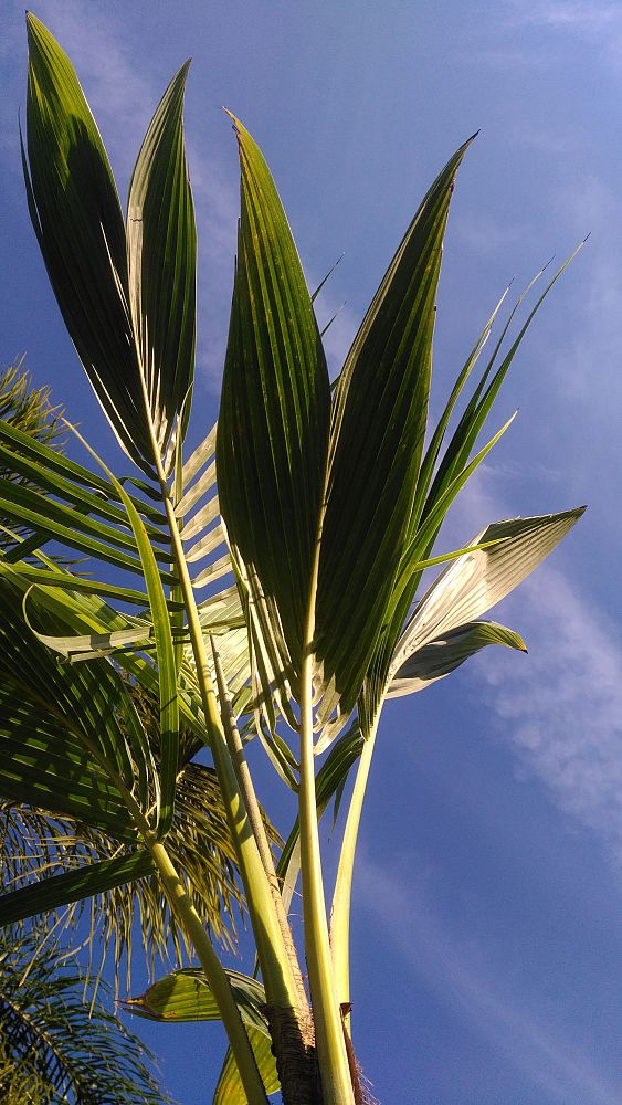 cocos-coconut-palm