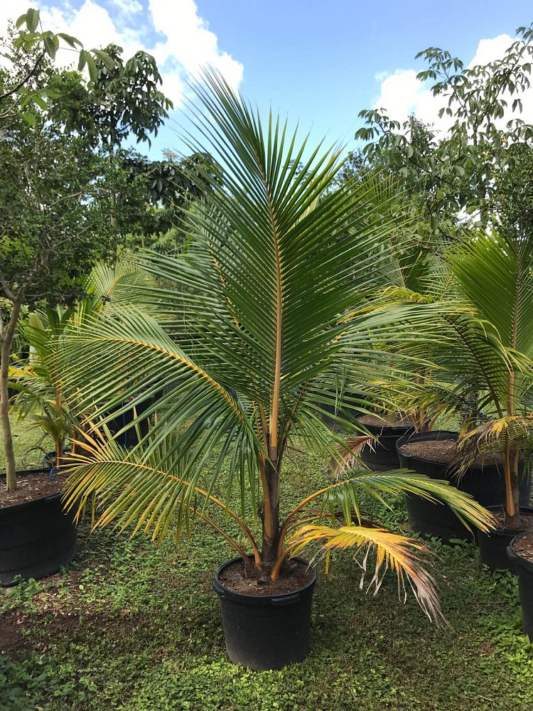 cocos-nucifera-golden-malayan-coconut-palm