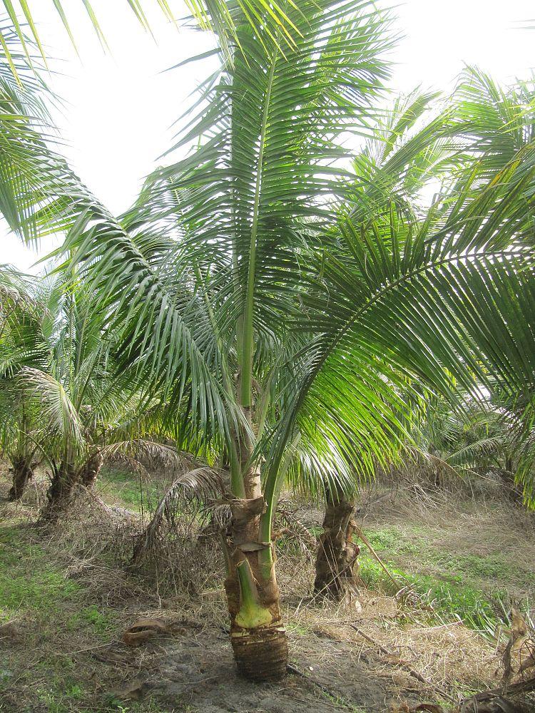 Palm Source Pine Island Plantant Com