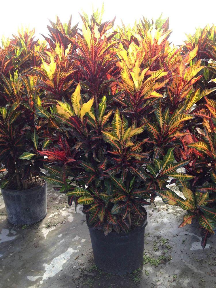 Garden Bush: Mulvehill Nursery, Inc