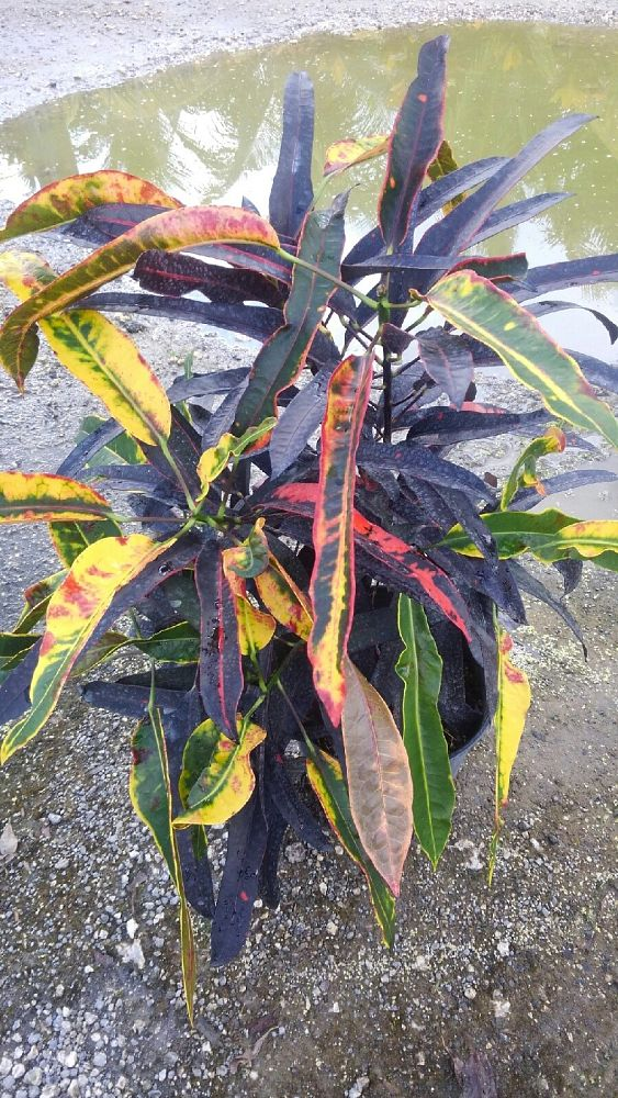 codiaeum-variegatum-sloppy-painter-croton