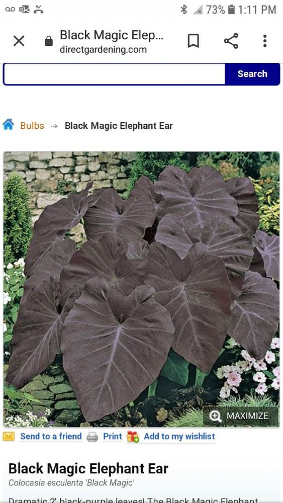 colocasia-esculenta-black-magic-taro-elephant-ear