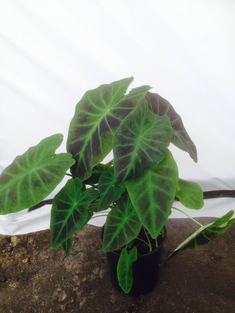 colocasia-esculenta-illustris-taro-elephant-ear-colocasia-antiquorum-illustris