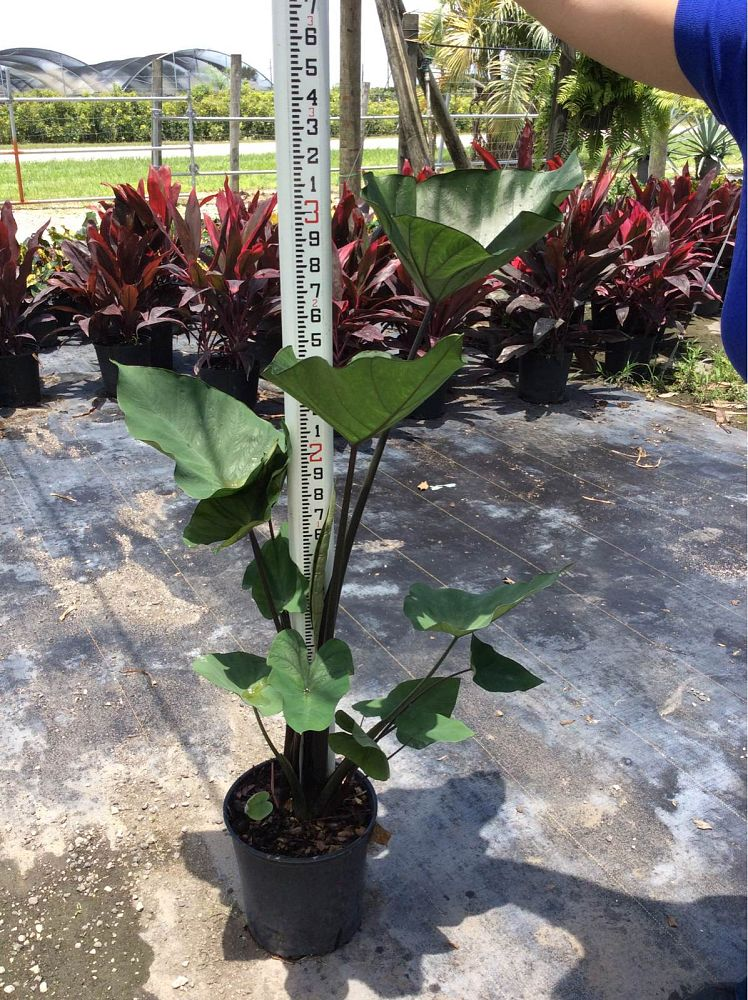 colocasia-esculenta-teacup-taro-elephant-ear