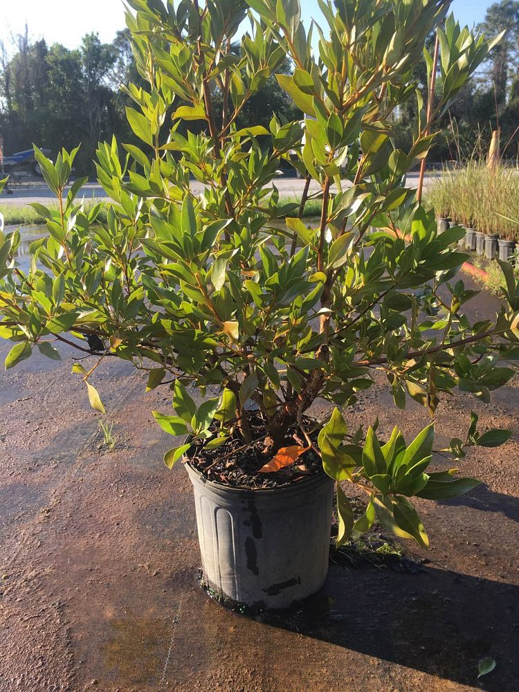 conocarpus-erectus-buttonwood-green-buttonwood