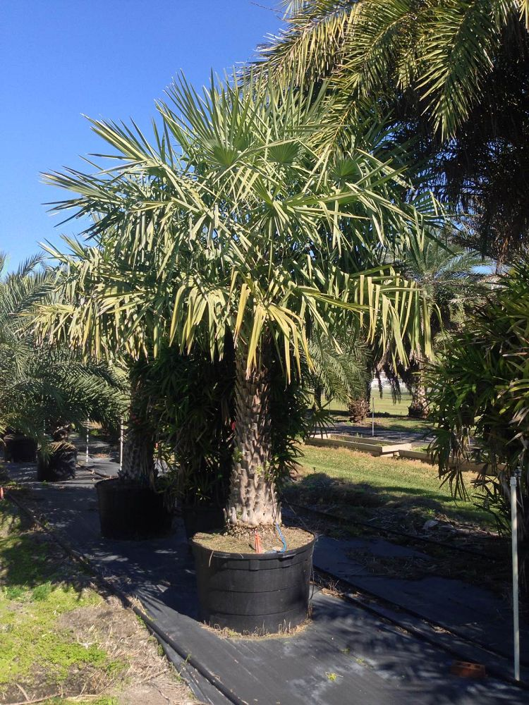 copernicia-alba-caranday-palm