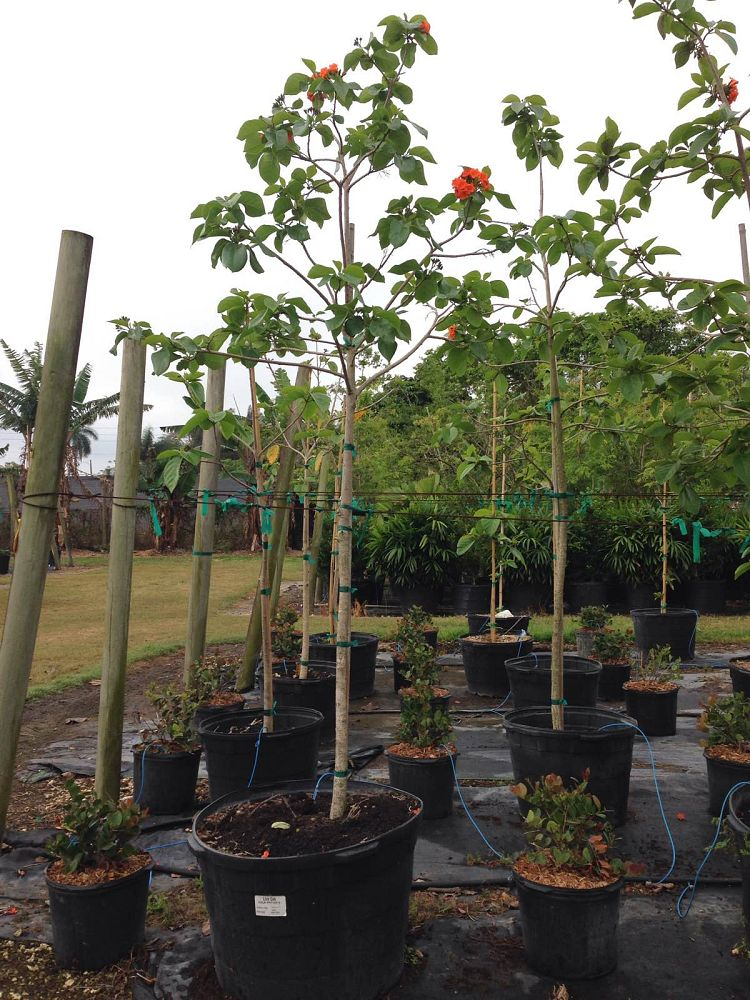 cordia-sebestena-orange-geiger-tree