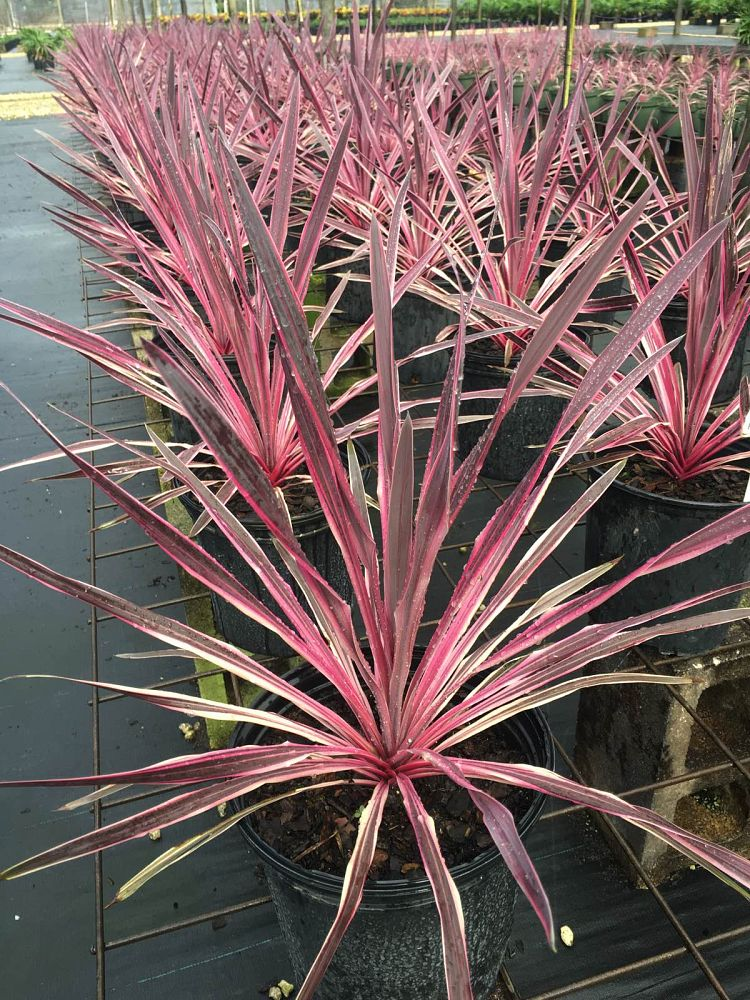 cordyline-australis-pink-passion-cabbage-tree-dracaena-spike-ti-kouka-torbay-palm-cabbage-palm