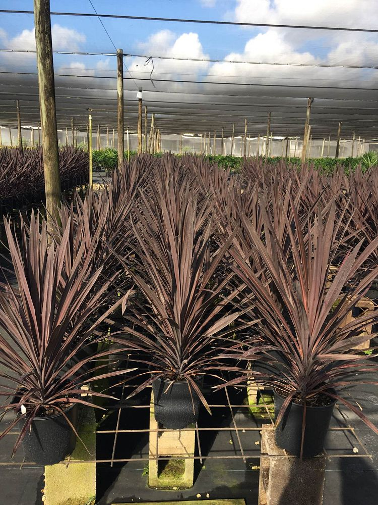cordyline-australis-purple-tower-cabbage-tree