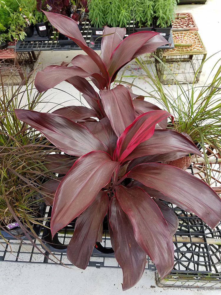 cordyline-australis-red-sensation-cabbage-tree