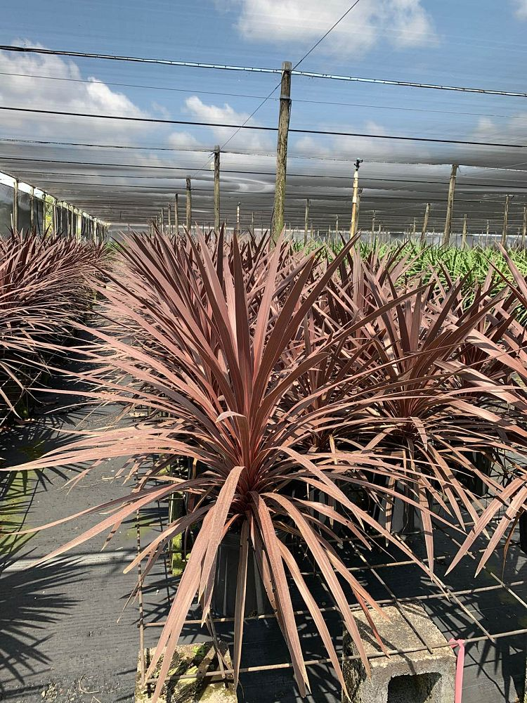 cordyline-australis-red-star-cabbage-tree