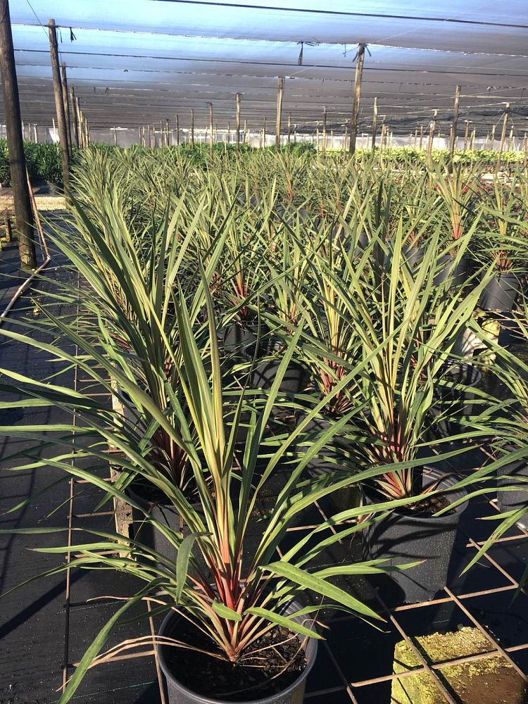 cordyline-australis-sundance-cabbage-tree