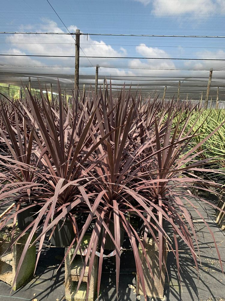 cordyline-black-knight-ti-plant