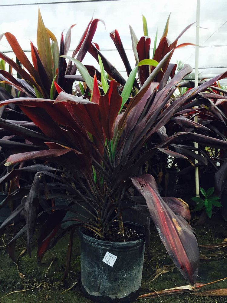 cordyline-fruticosa-black-magic-ti-plant-cordyline-terminalis-dracaena-terminalis