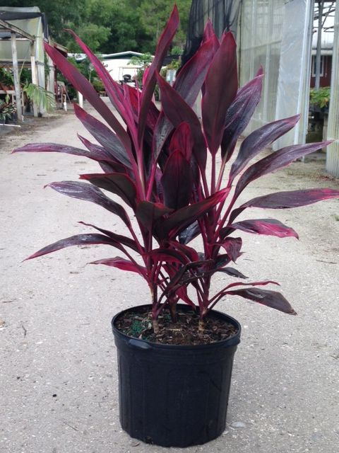 how to get a cordyline to shoot