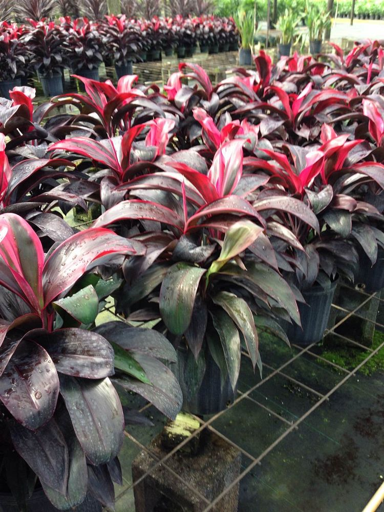 cordyline-terminalis-dark-red