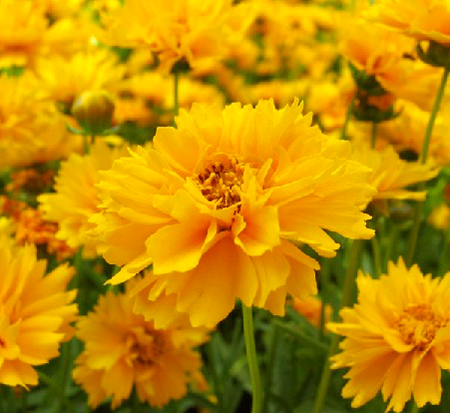 coreopsis-grandiflora-early-sunrise-largeflower-tickseed