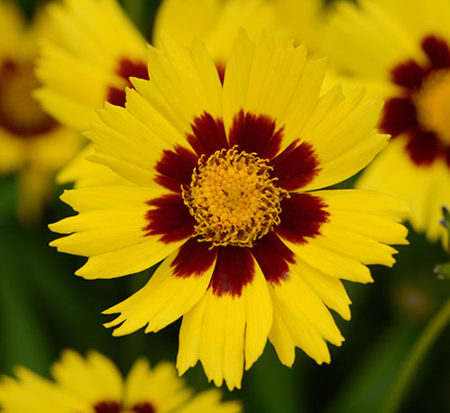 coreopsis-grandiflora-sunkiss-largeflower-tickseed