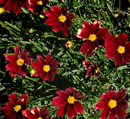 coreopsis-li-l-bang-red-elf-tickseed-coreopsis