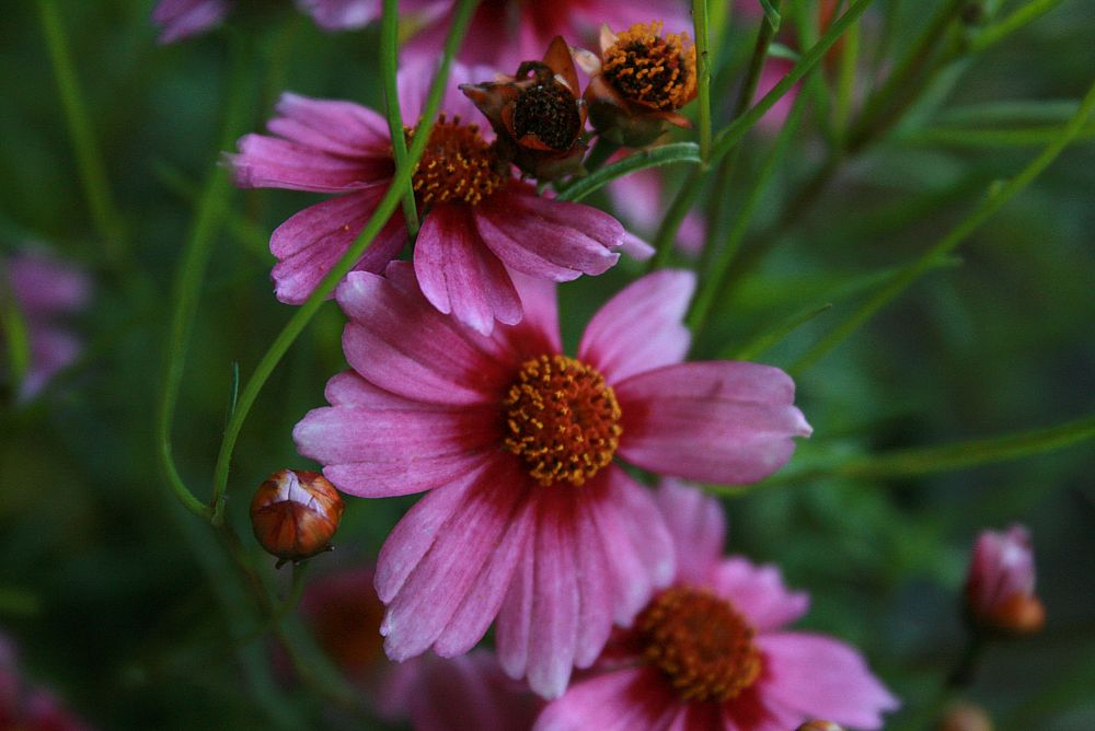 coreopsis-rosea-american-dream-pink-tickseed