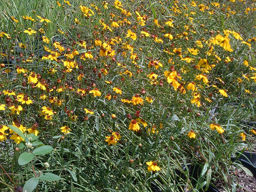 coreopsis-tickseed