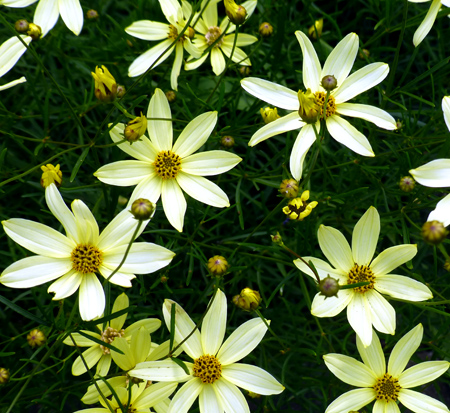 coreopsis-verticillata-moonbeam-thread-leaf-tickseed