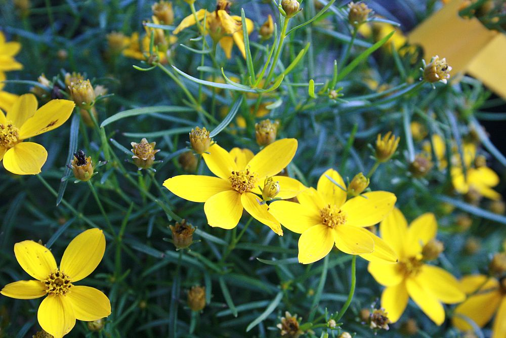 coreopsis-verticillata-zagreb-thread-leaf-tickseed