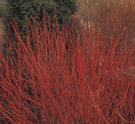 cornus-alba-sibirica-tatarian-red-bark-dogwood-coral-red