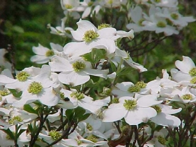 cornus-florida-cherokee-princess-flowering-dogwood