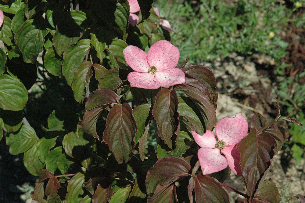 cornus-florida-comco-no-1-flowering-dogwood-cherokee-brave