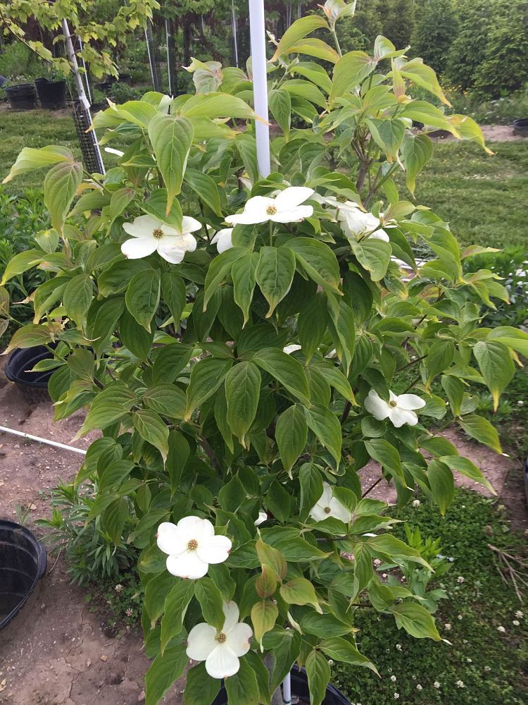 cornus-florida-jean-s-appalachian-snow-flowering-dogwood