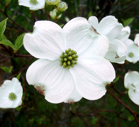cornus-florida-white-flowering-dogwood
