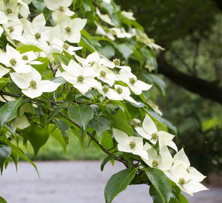 cornus-kousa-national-kousa-dogwood