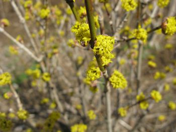 cornus-mas-golden-glory-cornelian-cherry-dogwood