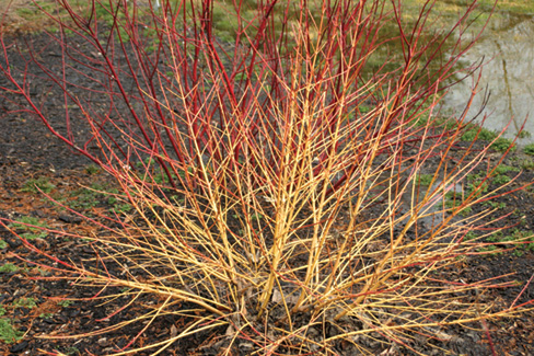cornus-sericea-arctic-sun-red-osier-dogwood-red-twig-dogwood