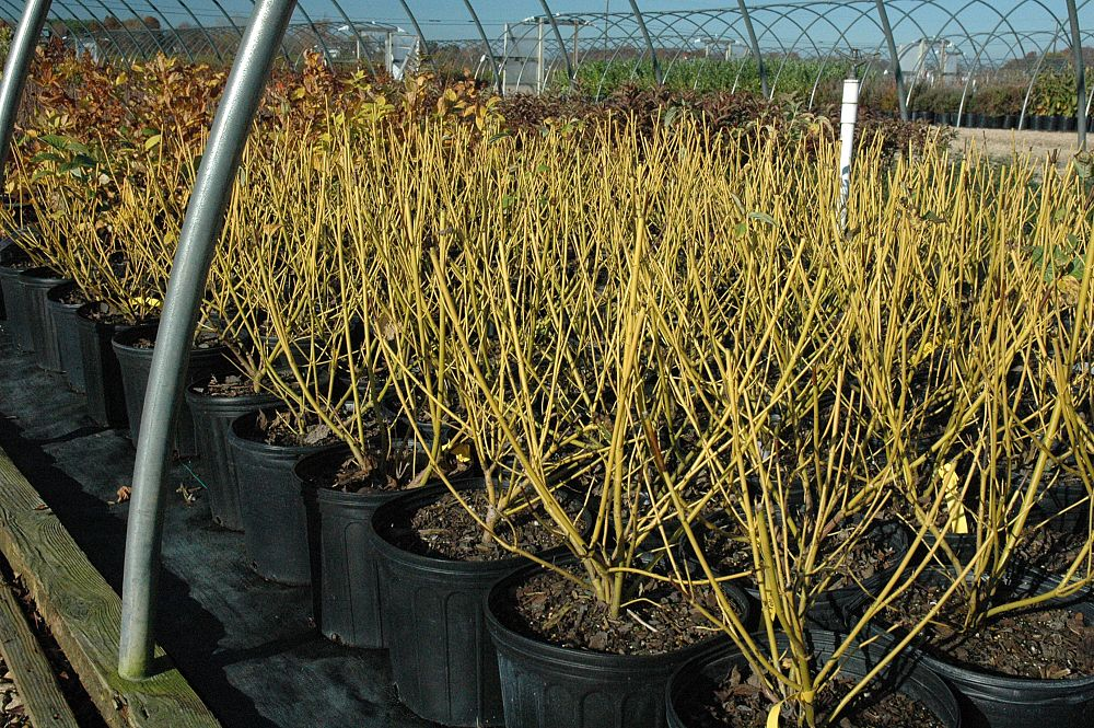 cornus-sericea-budd-s-yellow-tatarian-red-bark-dogwood-cornus-alba-bud-s-yellow
